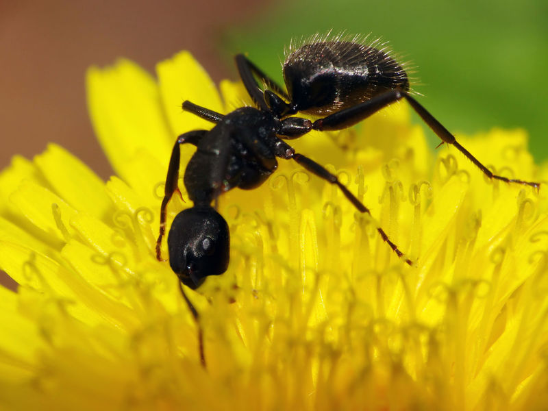 Camponotus Vagus - Serchio River Animal Themes Animals In The Wild Ant Ant On Flower Apocrita Arthropoda Beauty In Nature Black Color Camponotus Camponotus Vagus Close-up Flower Flower Head Formicidae Fragility Freshness Growth Hexapoda Hymenoptera Insect Insecta Nature Plant Yellow