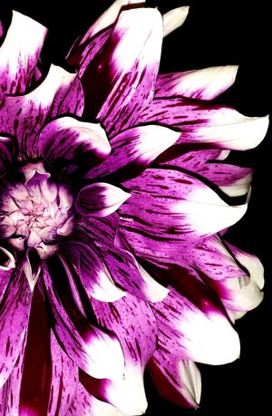 Dhalia Flower Flower Purple Petal Freshness Black Background Close-up No People Beauty In Nature Flower Head Background For Mobile Love Of Flowers White Tips Gorgeous Stunning Fragility Blooming Flower