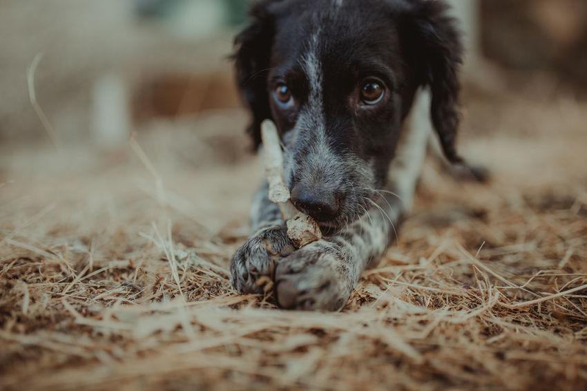 Baby Dog Dogs Dogs Of EyeEm Puppy Love Animal Themes Day Dog Dog Love Dogslife Dog❤ Domestic Animals Epagneul Breton Mammal One Animal Pets Portrait Puppy Puppy❤ Pet Portraits Visual Creativity