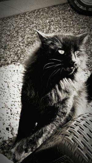 The Black Cat Black And White Gravel