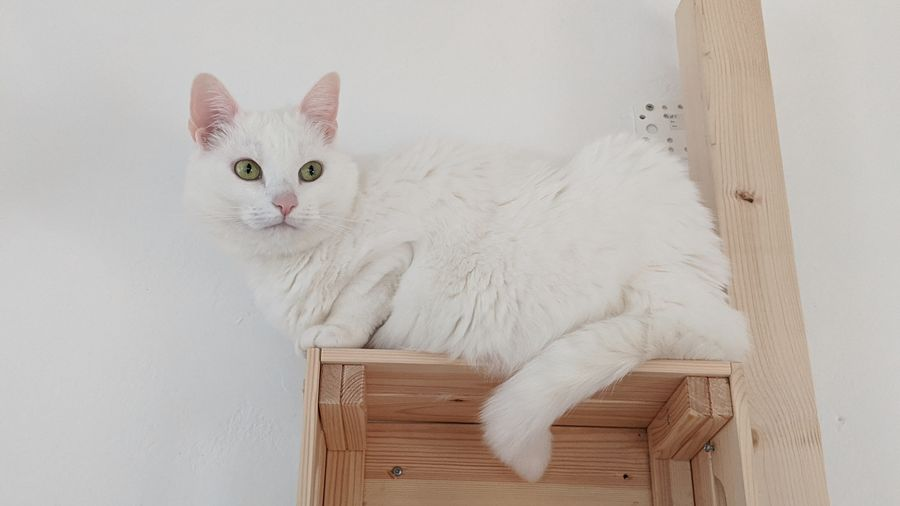 Portrait of white cat relaxing at home
