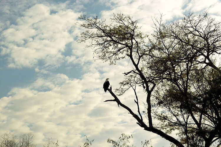 A vulture watches from above what might be its next prey Africa African Wildlife Akagera Animal Themes Animal Wildlife Animals In The Wild Bare Tree Beauty In Nature Bird Branch Cloud - Sky Day Low Angle View National Park Rwanda Nature No People Outdoors Perching Savannah Savannah Vulture Silhouette Sky Tree