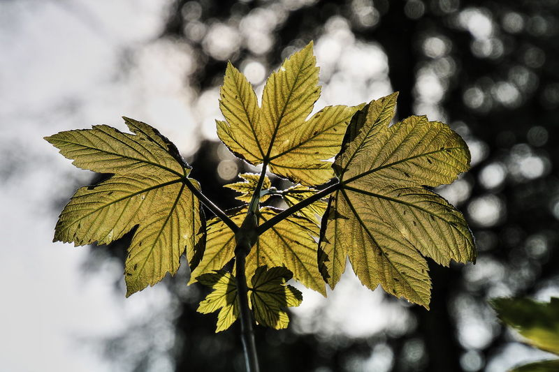 Plant Sunny Veins In Leaves Autumn Beauty In Nature Close-up Focus On Foreground Green Color Green Leaves Leaf Leaves Nature No People Outdoors See Through Leaves