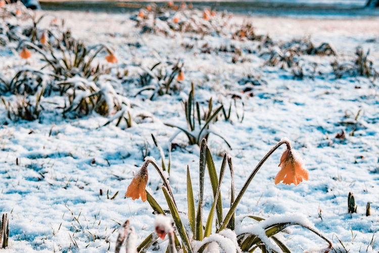 Close-up of frozen daffodils during winter