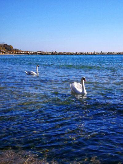 Bird Swan Water