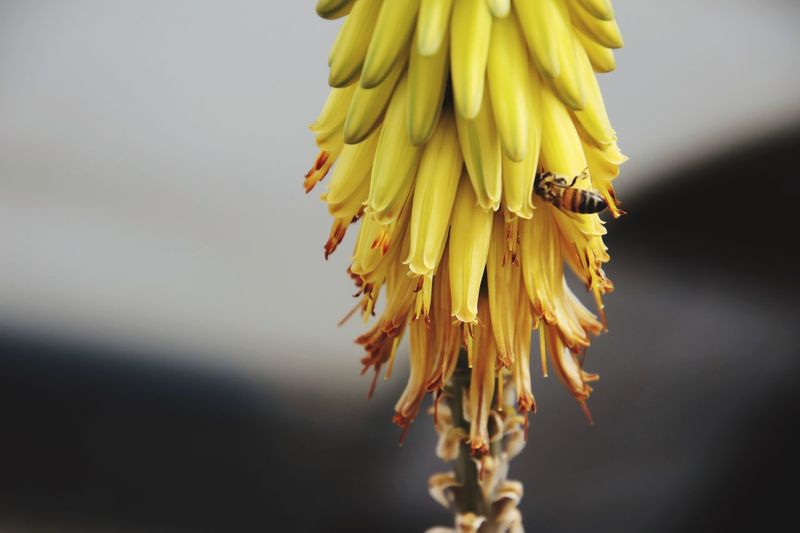 Polination Banana Tree Bee EyeEm Selects Close-up Plant Yellow Freshness Flower Flowering Plant Beauty In Nature