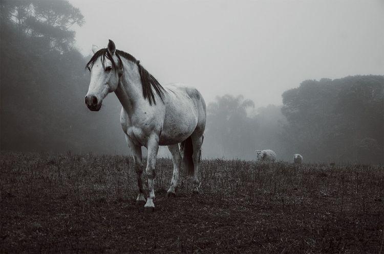 Horse Horse Life Whitehorse Mist Cavalo Nature Field Fieldscape Fieldlife Campo Natureza Mistery Dawn Amanhecer Neblina