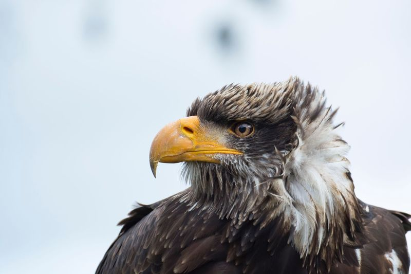 Young bald eagle on a stormy day. Wind Feather  Animal Photography Animals Animal NikonD5200 Nikonphotography Nikon Portrait Storm Adler Eagles Bald Eagle Animal Animal Themes Bird Vertebrate One Animal Animal Wildlife My Best Photo Bird Of Prey Animals In The Wild No People Nature Close-up Animal Body Part Eagle My Best Photo