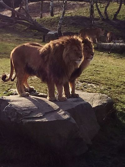 Lions den Beekse Bergen Safari Animals Lion Animal Themes No People Day Sunlight Outdoors Animals In The Wild The Great Outdoors - 2018 EyeEm Awards