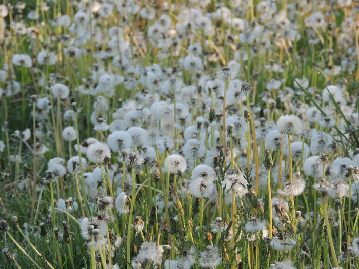 Close-up of white flowers growing in field