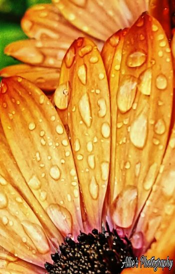 Pedals After Rain Nature Freshness Beauty In Nature Flower Drop Close-up No People Petal Water Day Fragility Flower Head Outdoors EyeEmNewHere