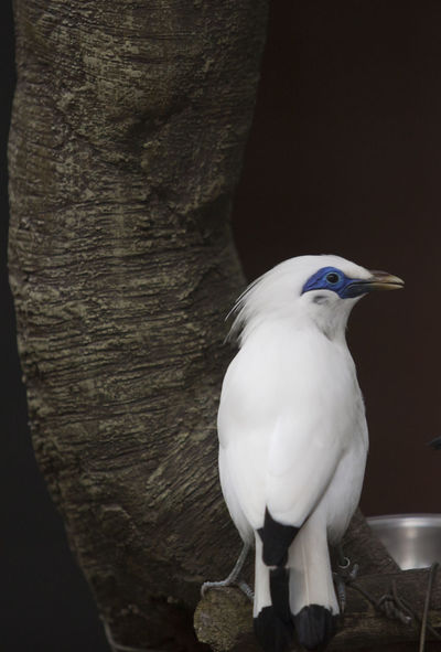 Animal Themes Animal Wildlife Animals In The Wild Bali Bali Myna Bali Starling Beauty In Nature Bird Color Image Curik Bali Day Nature No People Outdoors Perching Photography Vertical