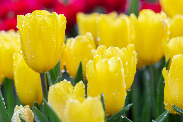 Close-up of yellow tulip