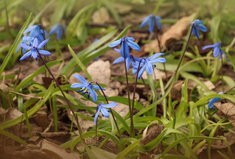 Scilla Siberica Scilla Flowering Plant Flower Plant Vulnerability  Fragility Petal Beauty In Nature Growth Freshness Close-up Blue Inflorescence Land Nature Flower Head Purple No People Day Focus On Foreground Springtime Springtime Flowers