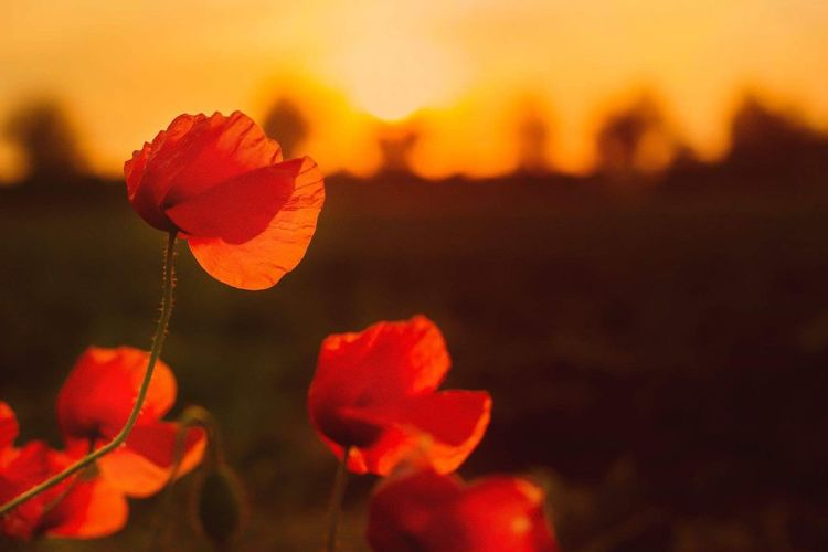 Close-up of orange poppy flower against sky during sunset