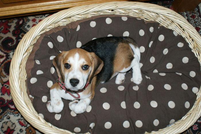Animal Themes Beagle Close-up Day Dog Domestic Animals Indoors  Looking At Camera Mammal No People One Animal Pets Polka Dot Portrait Spotted Beagles  Beaglelovers Beagleoftheday Puppy Puppyeyes Animal Photography Pet Portraits