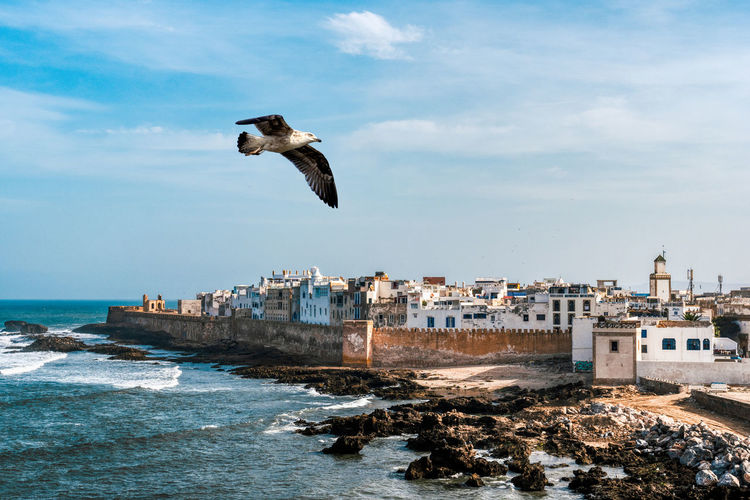 Single seagull flying across a view of the medina of essaouira, morocco.