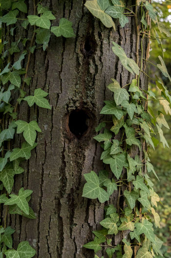 Detail of a woodpecker house, trunk full of ivy Green Color Leaf Plant Part Plant Nature Hole Trunk Day Tree Tree Trunk Close-up Growth No People Textured  Focus On Foreground Outdoors Ivy Plant Bark Wood - Material Metal