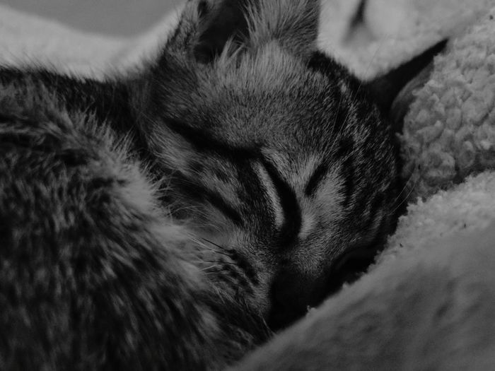 Animal Themes Pets Domestic Cat Domestic Animals One Animal Cat Indoors  Close-up Sleeping Mammal Feline Relaxation Resting Whisker Selective Focus Animal Head  Focus On Foreground Zoology No People Animal Hair Buenos Aires, Argentina  Love Love It