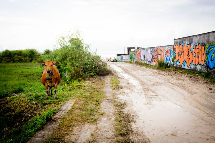 When nature and gentrification come together: fashionable cows posing in front of graffitis for their new gig. ASIA Bali FUSE Family Gentrification Graffiti Indonosia South East Asia Surf Animal Animal Themes Canggu Cattle Cement Cow Day No People Outdoors Streetart Streetphotography