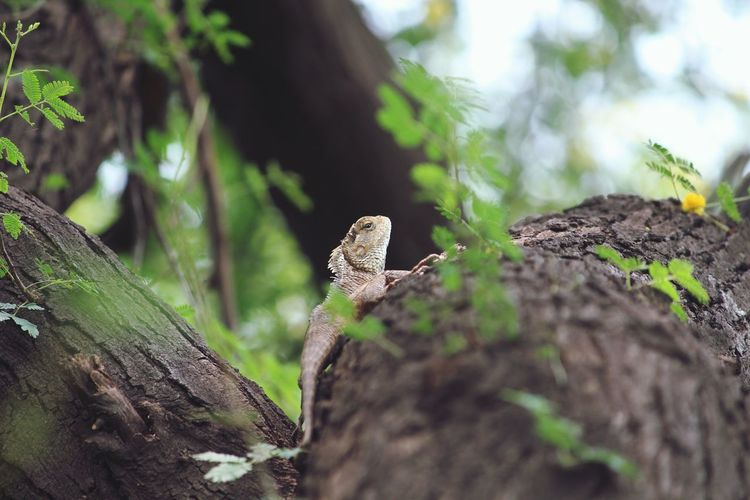 Animal Wildlife Reptile Animals In The Wild One Animal Animal Lizard Animal Themes Day Nature Tree Close-up No People Living Organism Branch Iguana Outdoors Camouflage Climbing Leopard Pet Portraits EyeEm Eyeem India Nature Nature Photography Mix Yourself A Good Time