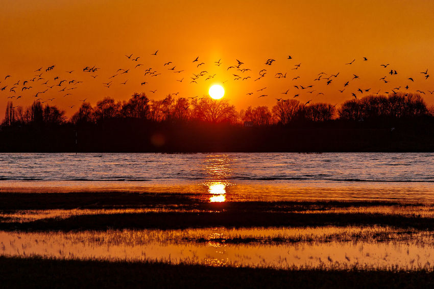 #rhinemeadows02 Duisburg Germany🇩🇪 Rhein Animal Themes Animal Wildlife Animals In The Wild Beauty In Nature Bird Flock Of Birds Flying Large Group Of Animals Nature No People Orange Color Reflection Scenics Sea Silhouette Sky Spread Wings Sun Sunset Tranquil Scene Tranquility Water