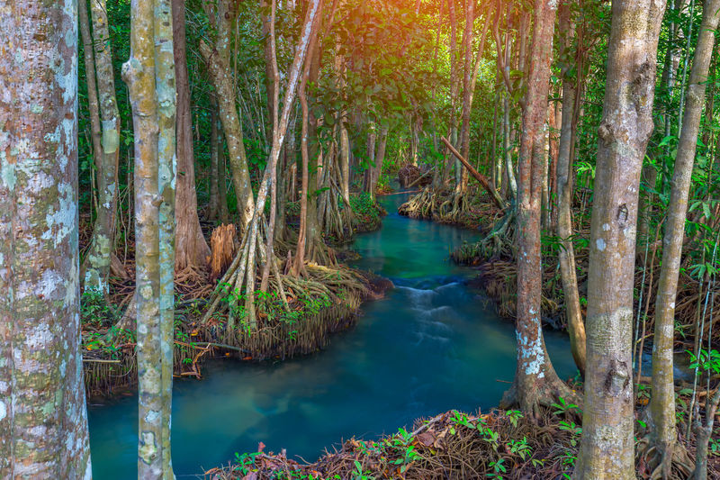 Amazing crystal clear emerald canal with mangrove forest , Krabi province, Mangrove Forest Mangrove Forest Conserve Mangrove Forests Beauty In Nature Day Flowing Water Forest Idyllic Land Nature No People Non-urban Scene Outdoors Plant Rainforest River Scenics - Nature Tranquil Scene Tranquility Travel Destinations Tree Tree Trunk Trunk Turquoise Colored Water