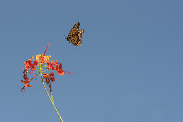 Close-up of butterfly against clear blue sky