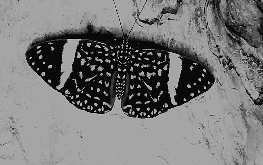 Blue No People Close-up Animal Wildlife Nature Day Animals In The Wild Insect Butterfly - Insect Floral Pattern One Animal Animal Markings Outdoors Blackandwhite Black And White