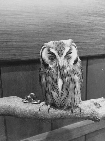 Owl One Animal Bird フクロウ Blackandwhite