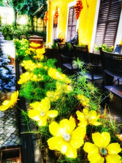 Portuguese Flower Yellow Plant Growth Built Structure No People Outdoors Architecture Flower Head Freshness Day Building Exterior Walking Around The City  Walking Alone... Flower Shot Flowerlovers Paint The Town Yellow