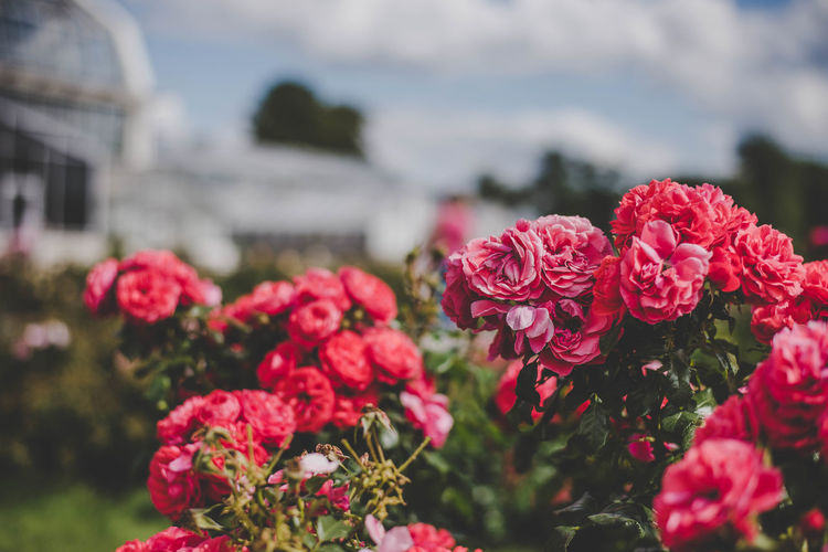 Pink roses bush Beauty In Nature Blooming Close-up Day Flower Flower Head Focus On Foreground Fragility Freshness Growth Nature No People Outdoors Petal Pink Color Plant Red