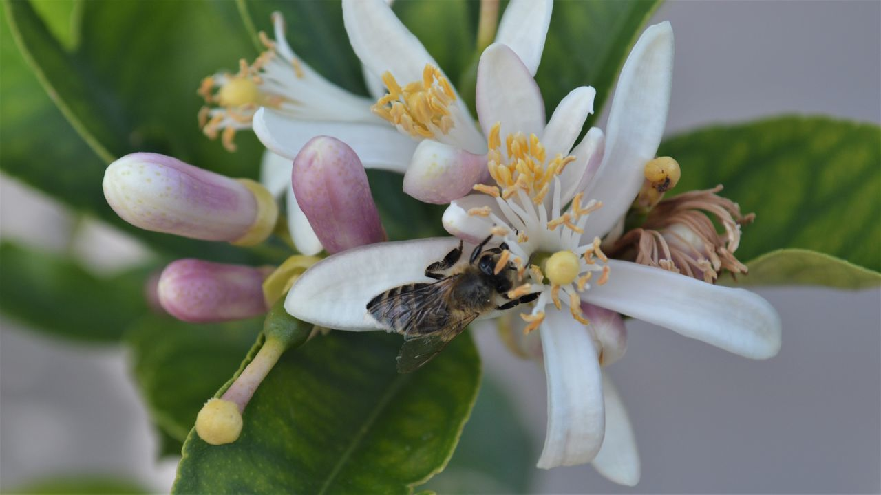 Blume Blumen Honigbiene Nature Nature Photography Zitrone Beauty In Nature Bee Biene Blüte Blütenstaub Close-up Flower Flowers Honig Insect Pflanzen Pollen Pollination Sommer Weiss