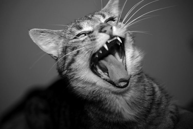 Animalportrait Bokeh Bokeh Love Bokeh Photography Cat Cat Lovers Cats Of EyeEm Domestic Animals Domestic Cat Nikon Nikon D5200 Perfectshot Pets Primelens Wild Yawning First Eyeem Photo EyeEmNewHere EyeEmNewHere Pet Portraits