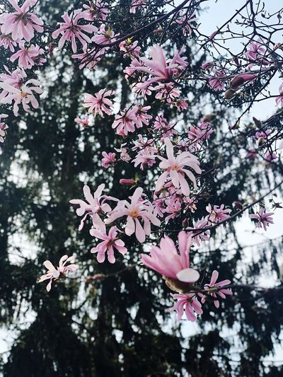 And finally spring Spring Plant Tree Growth Flower Flowering Plant Fragility Beauty In Nature Focus On Foreground Close-up Pink Color Low Angle View Nature Day No People Branch Vulnerability  Freshness Blossom Outdoors Springtime