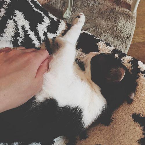 おやすみ 雨ちゃん しろくろネコ 子猫 ハチワレ 大好き