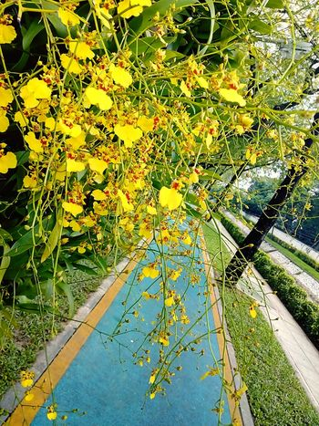 Orchid Orchid Flower Orchid On Tree Orchids Collection Flower On The Tree Flower Collection Yellow Orchid Yellow Flower Flower Tree Ornamental Plant Plant On Tree Orchid Photography Flower Photography Nature Beauty Of Nature Beauty Of Flower Beautiful Flower Orchid Collection Orchid Colours Sideways Sidewalk Viewใน Dusit, Thailand