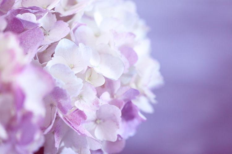 Hydrangea Summertime Wedding Wedding Flowers Beauty In Nature Blossom Botany Bouquet Close-up Floral Florist Flower Flower Head Freshness Lilac Nature No People Pastel Colors Petal Pink Color Purple Softness Springtime