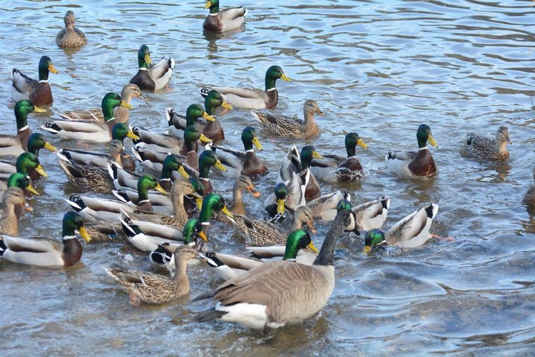 Mallard-con Animals In The Wild Bird Large Group Of Animals Water Animal Themes Lake Animal Wildlife Duck Day No People Swimming Outdoors Nature Flock Of Birds