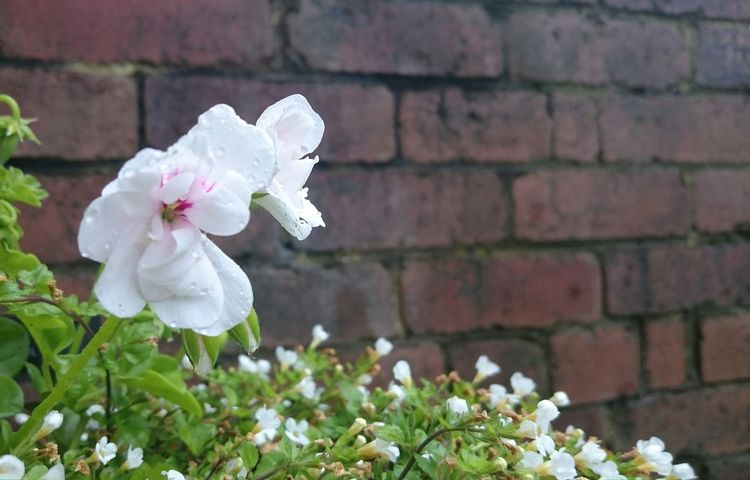 Pelargonium Flower Petal Flower Head Plant Outdoors Brick Wall Fragility White Color Beauty In Nature Growth Springtime Blooming Petunia Freshness Close-up