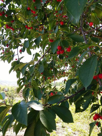 Cheery 🍒🍒 In My House 🍒cherries Tree Nature Outdoors Day Beauty In Nature