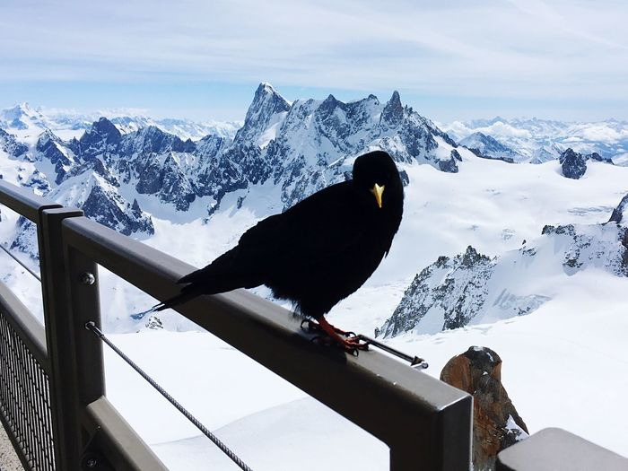 Crow perching on railing against snow covered mountain against sky