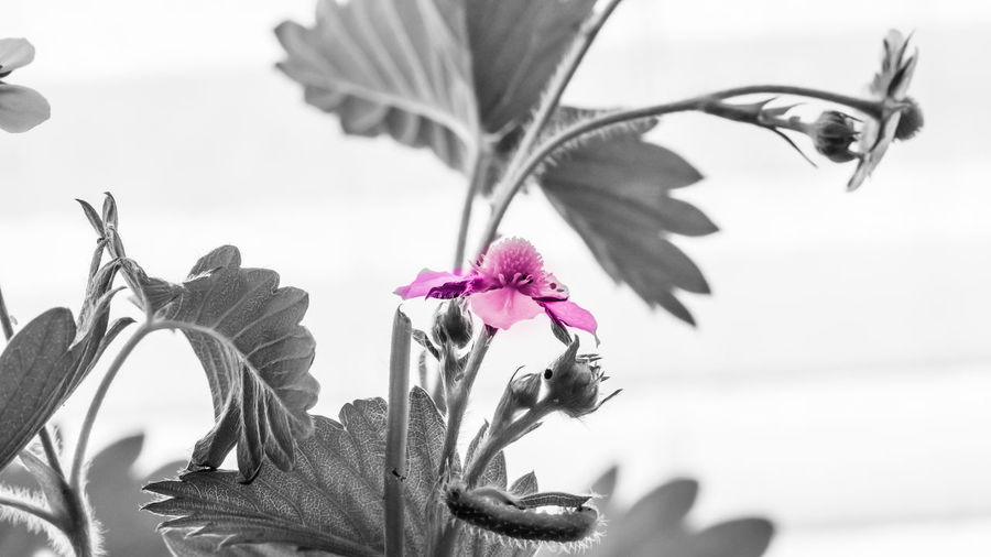 strawberry Flowering Plant Close-up Beauty In Nature Flower Head Inflorescence Pink Color Leaf No People Nature Black & White EyeEm Nature Lover EyeEm Black&white!