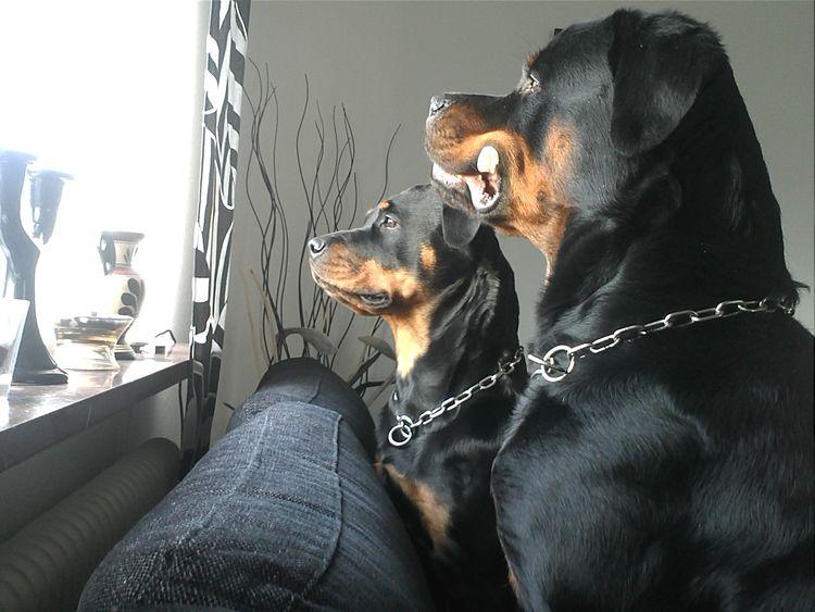 German Rottweiler Rottweiler Hello World Dog