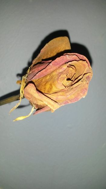 Wilted Rose Rose♥ Dead Rose Wilted Love