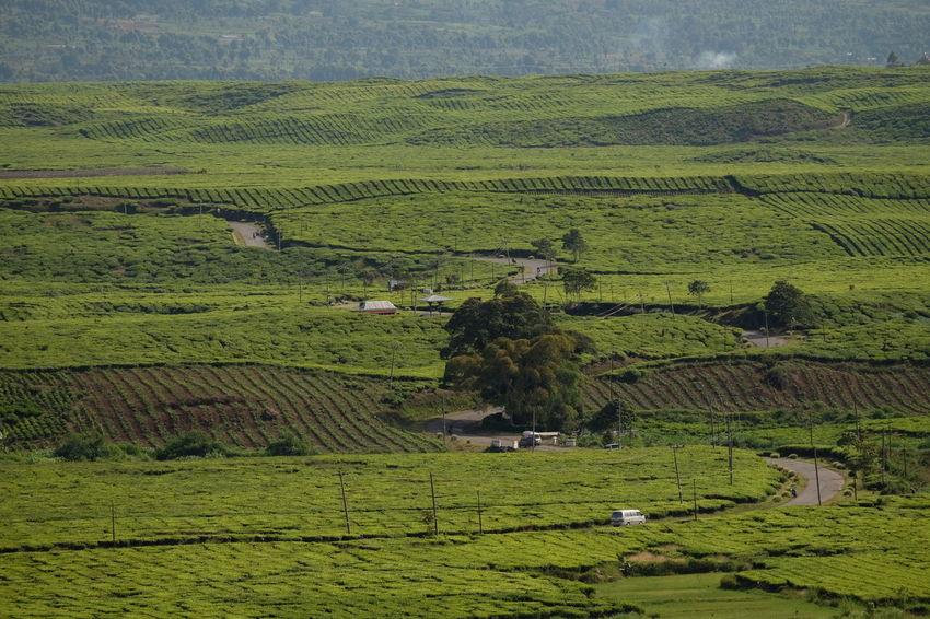 Kerinci tea plantations Jambi Sumatra  Tea Agriculture Beauty In Nature Black Tea Cereal Plant Farm Field Green Color Greentea Growth Highlands Kerinci Landscape Nature Outdoors Patchwork Landscape Plantation Rural Scene Tea Plantation  Tranquil Scene