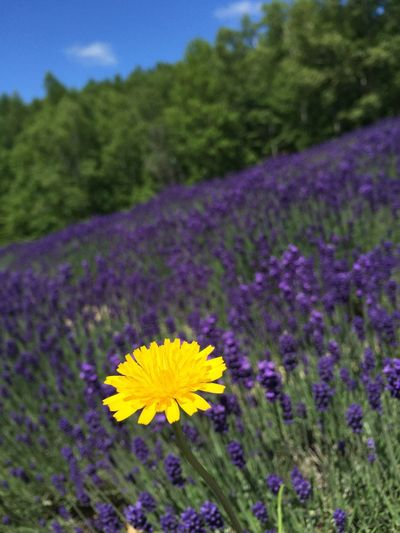 Nature_collection Lavender Flower Hokkaido,Japan Travel