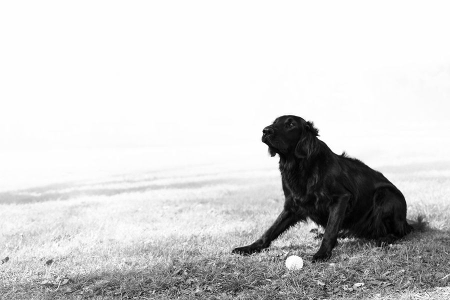Animal Themes Black And White Canine Canine Companion Close-up Day Dog Dog Toy Domestic Animals Edited England Flat Coated Retriever Flatcoated Retriever Greyscale Mammal Nature No People One Animal Out Of Focus Outdoors Pets Photoshop Plant Sitting White Background