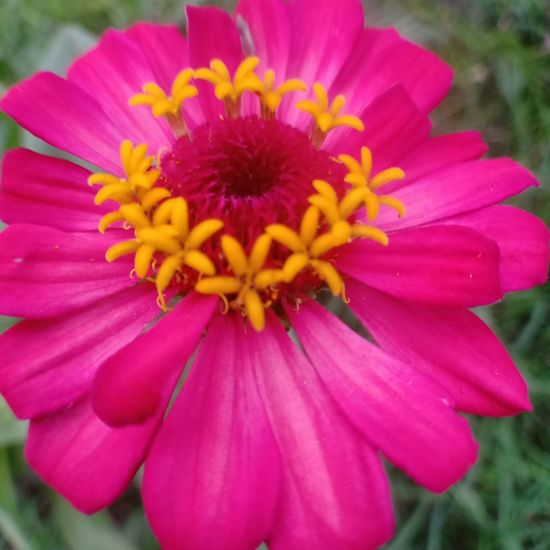 Flower Head Zinnia  Flower Pink Color Petal Pollen Close-up Blooming Plant