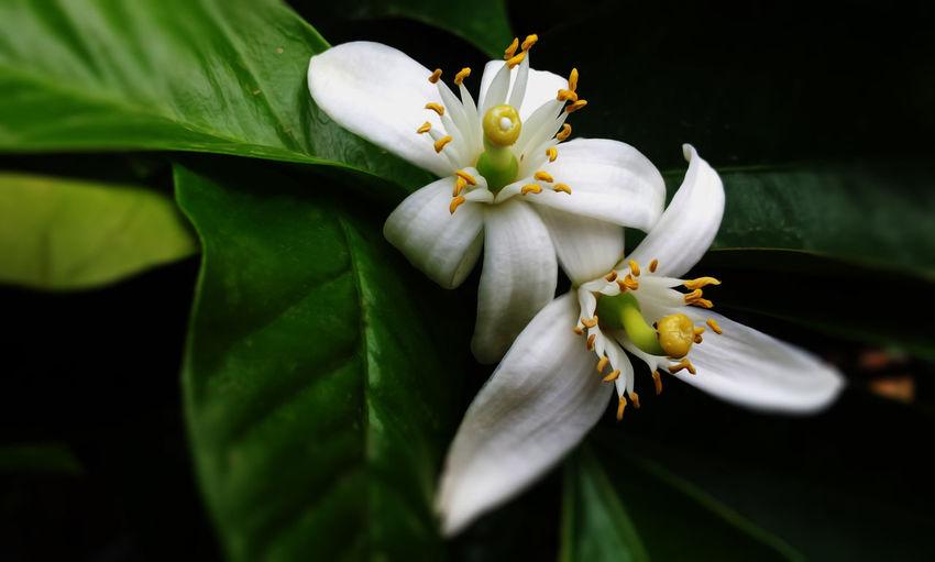 citrus sinensis #EyeEmEsterlinda #italy Beauty In Nature Botany Flower Flowering Plant Fragility Freshness Nature Petal Pistil White Color